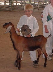 justins a great showman for nubian dairy goats