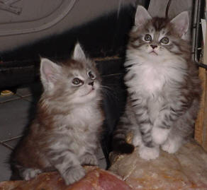 maine coon cats of niwot